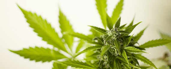 Cannabis-In-Workplace