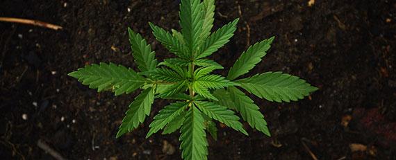 cannabis-workplace-webinar